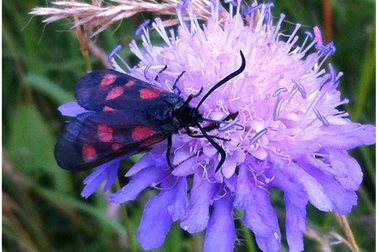 six spot burnet moth on field scabious - Photographer Sue Chapman