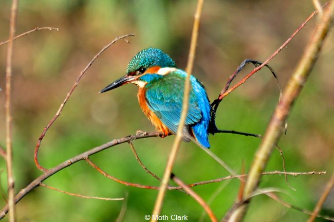 Kingfisher at Abbey Fishponds